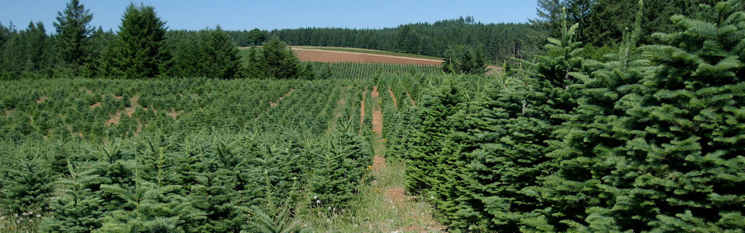 How Long Does It Take To Grow A Christmas Tree.Yorkshire Christmas Trees Money Does Grow On Trees